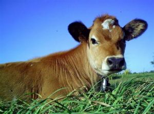 vache jergiaise